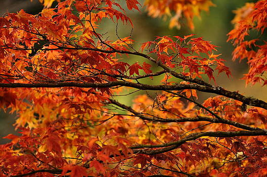 Sandra Sigfusson - Japanese Maple