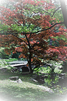 Japanese Maple by Swift Family