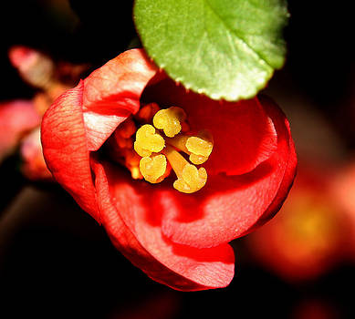 Japanese Quince - 1 by Robert Morin