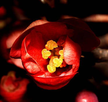 Japanese Quince - 2 by Robert Morin