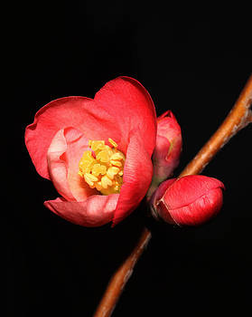 Japanese Quince - 4 by Robert Morin