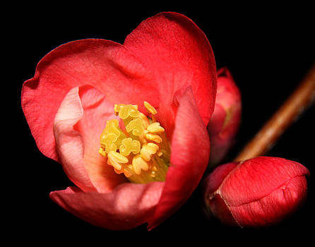 Japanese Quince - 5 by Robert Morin