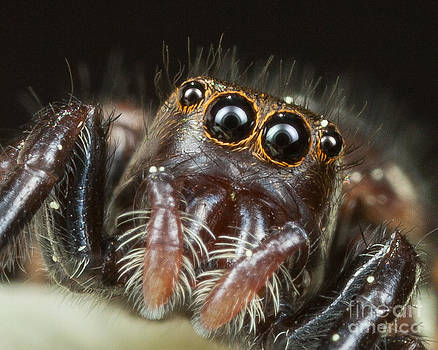 Jumping Spider by Louis B
