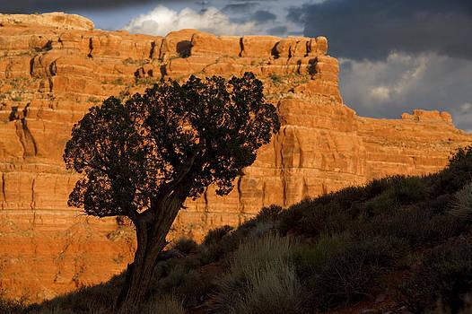 Juniper in Valley of the Gods Utah  by Bryan Allen