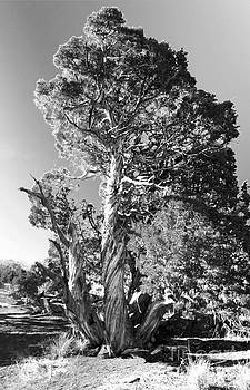 Juniper Tree Black and White by Bianca Collins