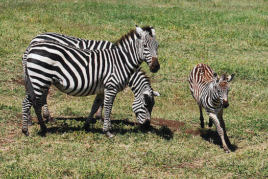 Harvey Barrison - Just Plain Zebra
