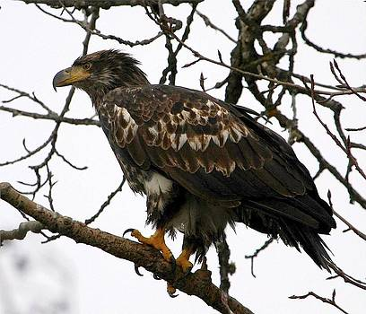 Carrie OBrien Sibley - Juvenile Bald Eagle
