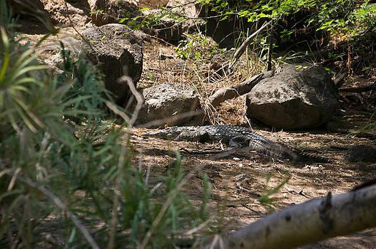 Howard Kennedy - Juvenile Nile Crocodile