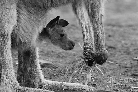 Kangaroo Joey by Camilla Brattemark