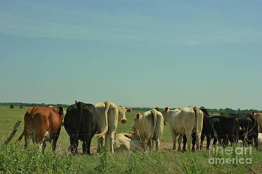 Kansas Cow's with there backside's to you with blue sky and grass by Robert D  Brozek