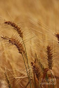Kansas Golden Wheat in a Field close up by Robert D  Brozek