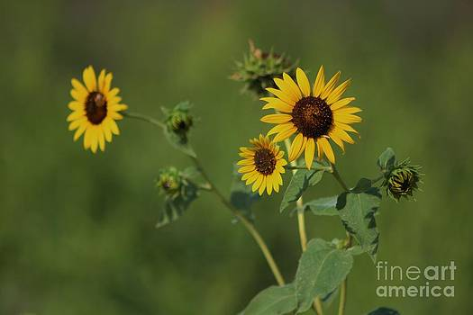 Kansas Wild Yellow Sunflower with green back ground by Robert D  Brozek