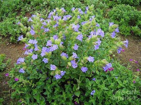 Karvi flowers blooming by Bgi Gadgil