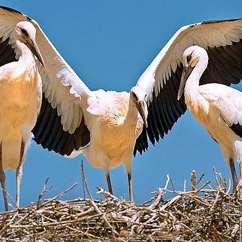 Kasbah Stork Nest by Felice Willat