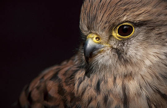 Kestrel Close Up by Andy Astbury