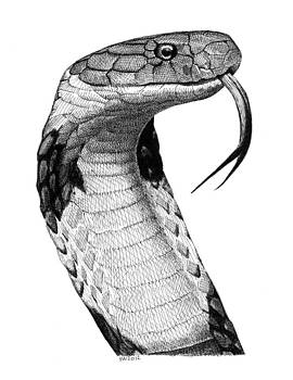 King Cobra by Scott Woyak