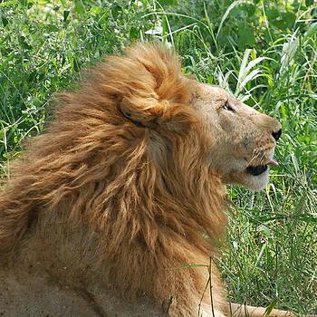 Harvey Barrison - King of the Jungle