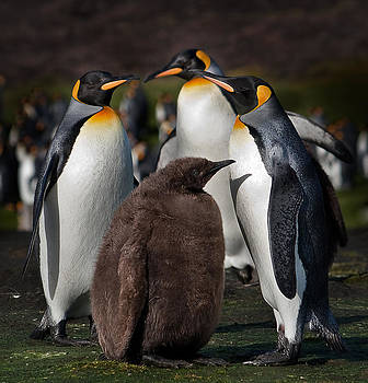 King Penguin family by Paul Davis
