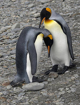 King Penguins by Kathy Dunce