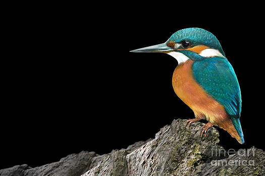Kingfisher by Karin Russer