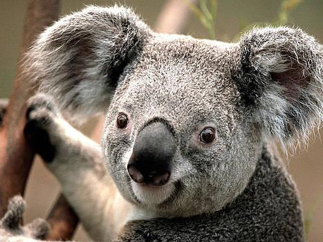 Koala by Dhirendra  Jaiswal