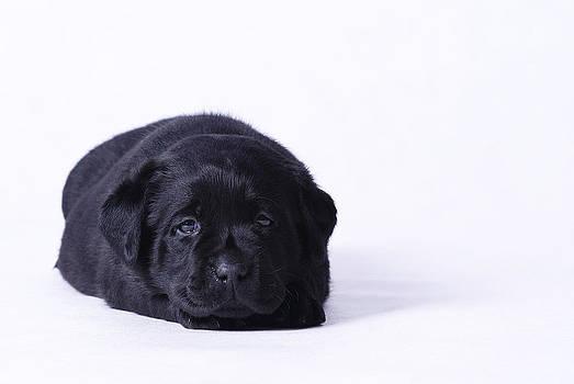 Waldek Dabrowski - Lab puppy