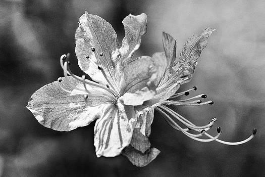 Labrador tea flower by Slava Shamanoff