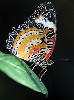 Lacewing Butterfly by Marcus Taylor