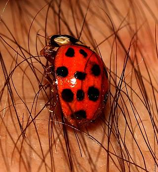 Lady Bug 2 by Robert Morin