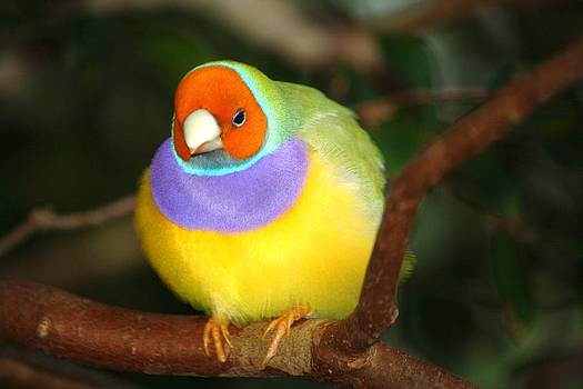 Lady Gouldian finch by Andrea  OConnell