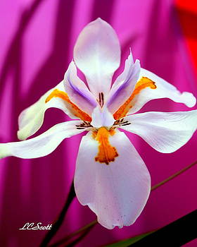 Lady Iris by LC  Linda Scott