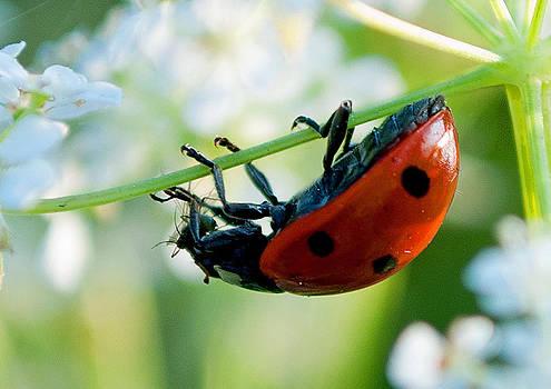 Ladybird Ladybird by Mike Preston