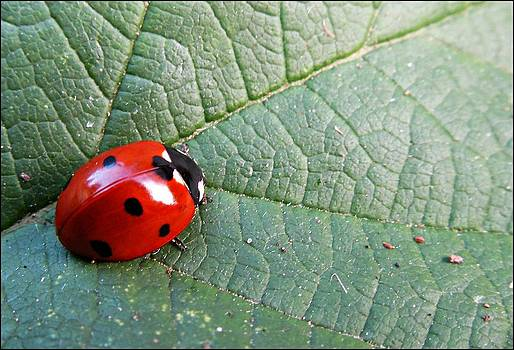 Ladybird by Olivia Narius