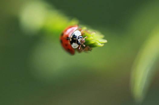 Pan Orsatti - Ladybug 2