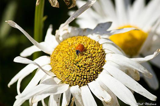 Ladybug Daisy by Rob Nelms