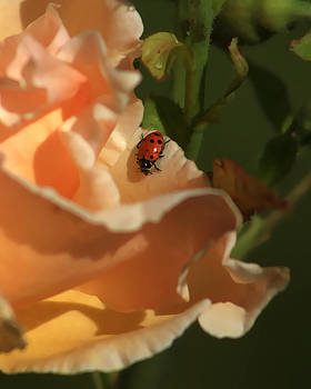 Ladybug on Rose by Rick Otto