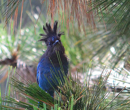 Lake Arrowhead Steller's Jay by Charles Frieda