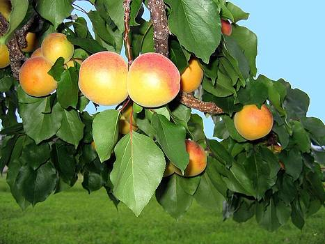 Lake Country Apricots by Will Borden