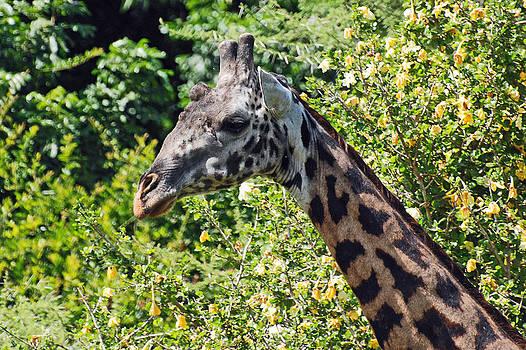 Harvey Barrison - Lake Manyara Giraffe