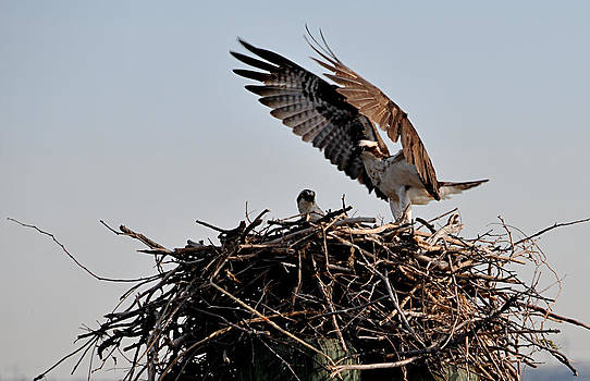 Landing Osprey Wings by Bob Lennox