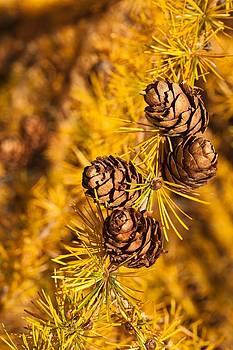 Larch Tree Cones by Graeme Knox