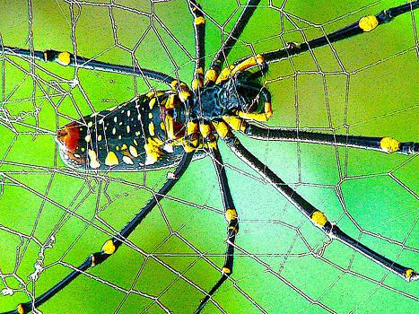 Roy Foos - Large Argiope Spider