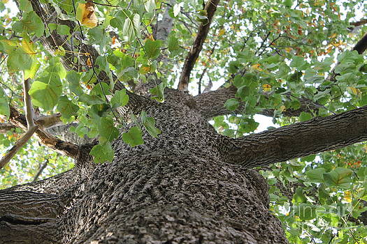 Large tree looking up by Ralph Hecht