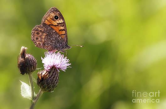 LHJB Photography - Lasiommata megera on a thistle