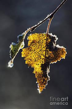 Last leaf by Wedigo Ferchland