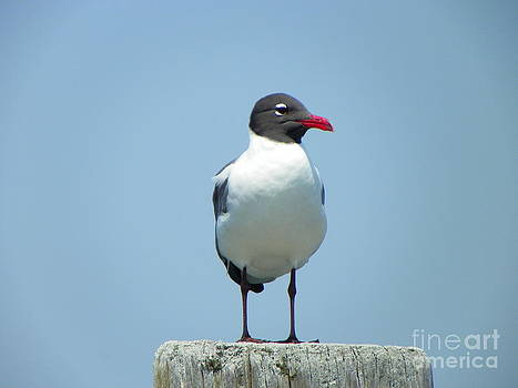 Laughing Gull2 by Laurence Oliver