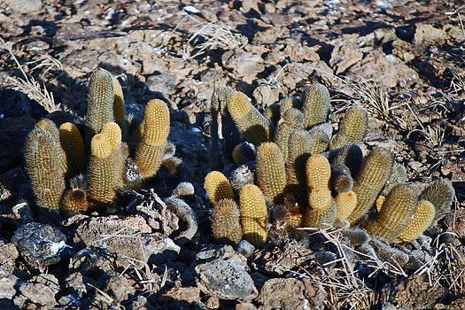 Harvey Barrison - Lava Cactus