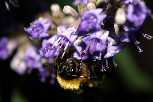Lavendar Bumble Bee by Lorri Crossno