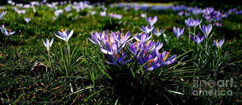 Lavender Crocuses by Melissa Nickle