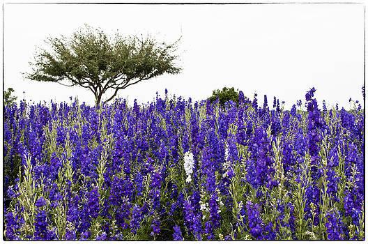 Lisa  Spencer - Lavender Field